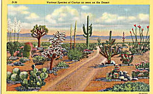 Various Species Of Cactus On The Desert Postcard P26911