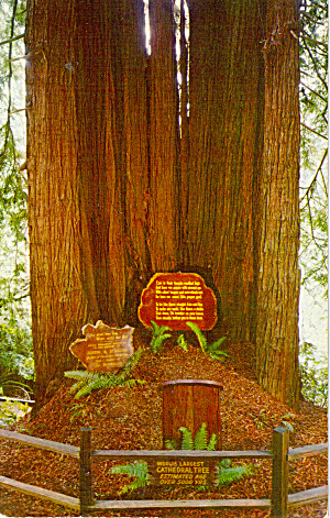 Cathedral Tree Redwood Highway California P26937