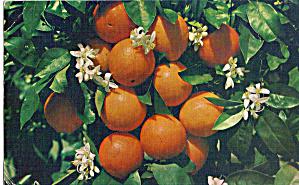 Florida Fruit Cluster with Orange Blossoms p27893 (Image1)