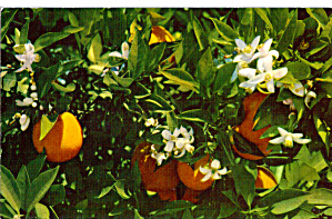 Florida Oranges And Orange Blossoms P28021