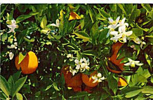 Florida Oranges and Orange Blossoms p28021 (Image1)