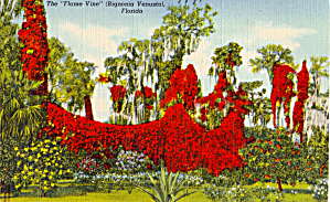 The Flame Vine Bignonia Venusta Florida p28102 (Image1)