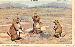 Family Of Prairie Dogs Ostcard P28129