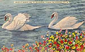 Swans Mirror Lake St Petersburg Florida p28149 (Image1)