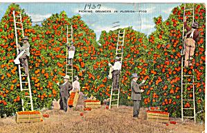 Picking Oranges in Florida p28158 (Image1)