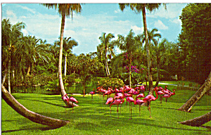 Colony of Flamingos at Sarasota Jungle Gardens (Image1)