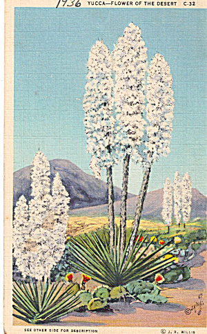 Yucca Flower Of The Desert Postcard P28183