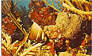 Black Angelfish among Sponges and Corals Virgin Islands p28203 (Image1)