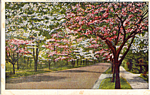 Dogwood Trees in Bloom, Atlanta, Georgia (Image1)