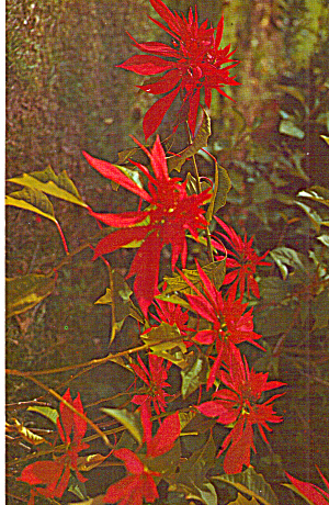 Double Poinsettia Postcard p28268 (Image1)