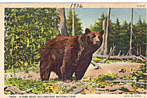 A Park Bear, Yellowstone National Park (Image1)