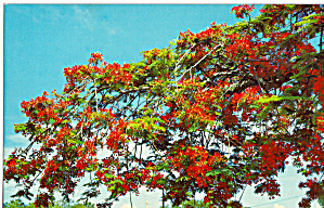 Poinciana Tree In Bloom Fl P28313