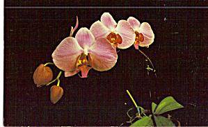 Phalaenopsis Hybrid Orchid Postcard p28355 (Image1)