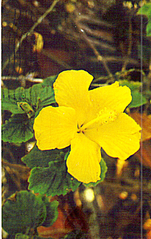 Hibiscus Native Flower of Florida (Image1)