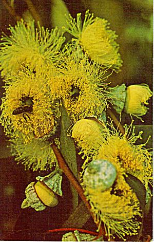 Eucalyptus Flowers (Image1)