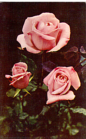Pink Hybrid Tea Roses Postcard p28367 (Image1)