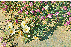 Sand Verbena And Primrose Postcard P28426