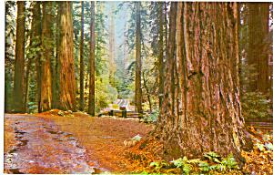 California Redwoods Postcard p28457 (Image1)