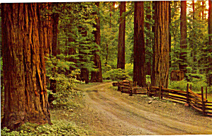 Redwood Forest, California (Image1)