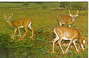 Herd of Alert Bucks Eating Postcard p28487 (Image1)