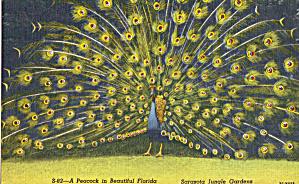 A Peacock at Sarasota Jungle Gardens FL p28512 (Image1)