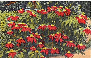 Poinsettias (Image1)