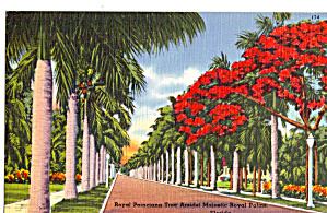 Poinciana Tree Amidst Royal Palms, Florida