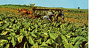 Amish Harvesting Tobacco Postcard P28645