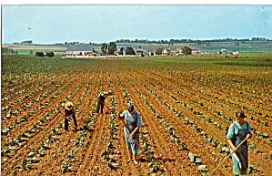 Amish Boys, Girls Hoeing Tobacco Postcard P28647