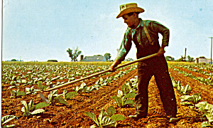 Amish Boy Hoeing Tobacco Postcard P28648
