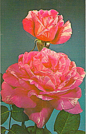 Candy Stripe a Hybrid Tea Rose Postcard (Image1)