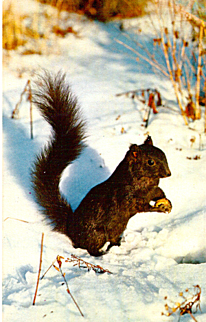 Black Squirrel in Mid Winter Postcard (Image1)