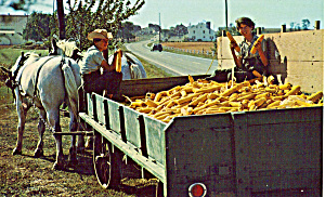 Amish Brothers with Freshly Picked Corn p28809 (Image1)