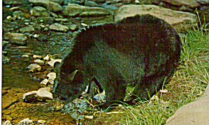 Black Bear along a Mountain Stream Postcard p28825 (Image1)