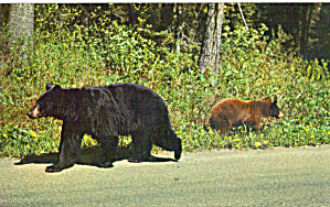 Black Bear and Cub (Image1)