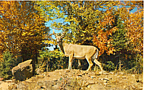 Whitetail Buck on Alert Postcard (Image1)