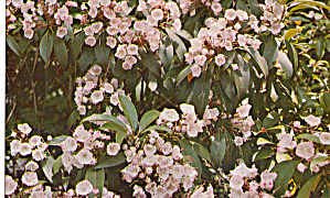 Mountain Laurel State Flower of Pennsylvania (Image1)
