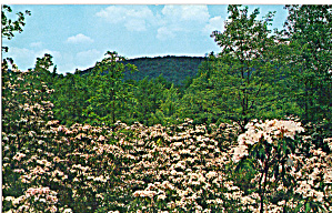 Mountain Laurel , Canadensis, Pennsylvania (Image1)