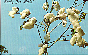 Cotton on the Plant (Image1)