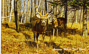 Curious White Tail Bucks (Image1)