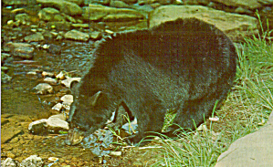 Black Bear At A Mountain Stream Postcard P29067