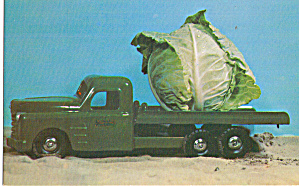 A Big Head of Cabbage Postcard p29094 (Image1)