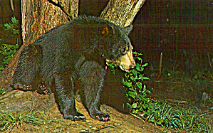 Black Bear Cub Postcard p29104 (Image1)