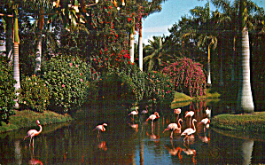 Flamingos In Sarasota Fl Jungle Gardens P29134