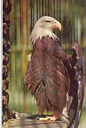 Bald Eagle Philadelphia PA Zoological Garden p29361 (Image1)