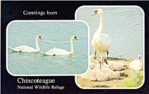 Mute Swans,Chincoteague National Wildlife Refuge p29541 (Image1)