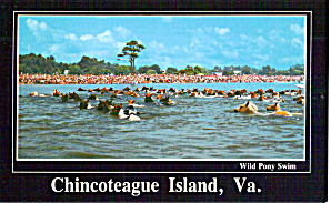Wild Pony Swim, Chincoteague Island, Virginia (Image1)