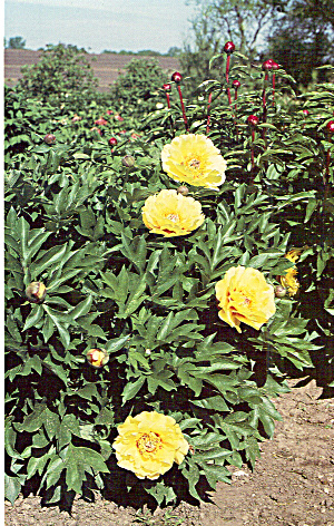 Peony in Bloom at Hollingsworth Nursery, MO (Image1)