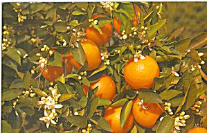 Branch of an Blooming Orange Tree FL p29868 (Image1)