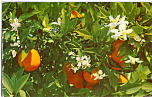 Florida Oranges And Orange Blossoms P29942